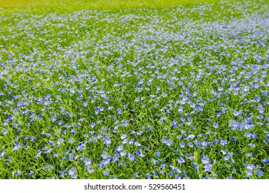 Blue small veronica speedwell flowers summer stock photo royalty a sown field of growing small purple flowering plants with depth of field mightylinksfo