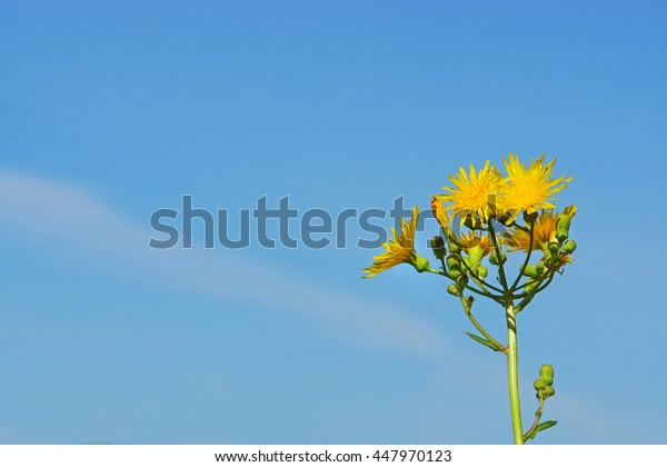 Sowthistle against blue sky with angled horizontal cloud layer