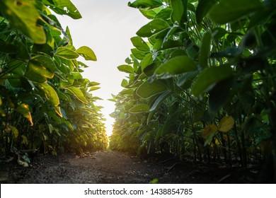 Soy bean fields in summer season at sunset.