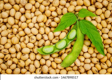 Soy bean mature seeds with immature soybeans in the pod. Soy bean, close up.  Open green soybean pod on dry soy beans background. Green soybean pods on dry soy bean