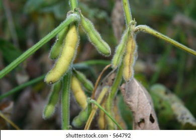 Soy Bean - Three