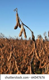 Soy beans in the field almost ready to harvest