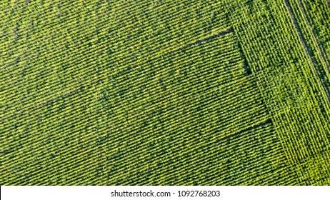 Soy Crop Aerial View