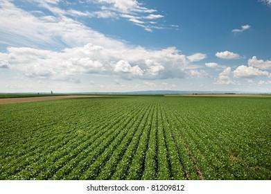 soy field in early summer