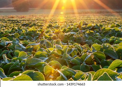 Soy field lit by beams of warm early morning light. Soy agriculture