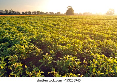 Soy field and soy plants in early morning light. Soy agriculture
