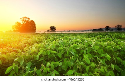 Soy field and soy plants in early morning. Soy agriculture