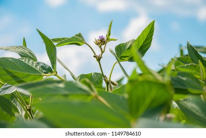 Soy flowers and pods on soy plant. Inflorescence of soybean on a soybean plant. Flowering soybeans. The stem of a soy plant with flowers stretches toward the sky from the soybean field.