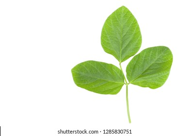 Soya bean green leaf closeup isolated on white background