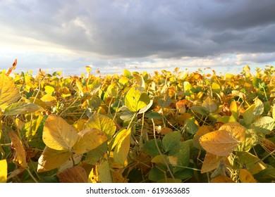 A soya field almost ready to be harvested on a farm in Rio Grande do Sul, Brazil. Green leaves, gray and blue sky, rain clouds, yellow and brown pods. Technology incresing the productivity.