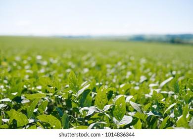 Soya plantation sunny day