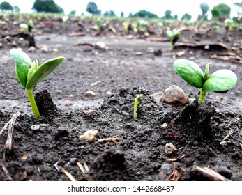 Soyabean  plants germinate. Plant Emergence. It commonly takes a soybean seedabout two daysto germinate and sprout.