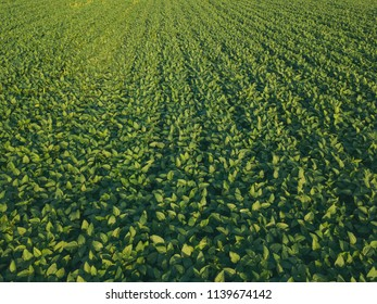 Soybean crop cultivated agricultural field aerial view