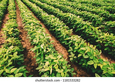 Soybean crop cultivation and farming