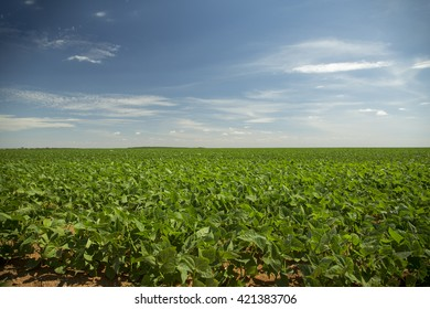 soybean crop in the field