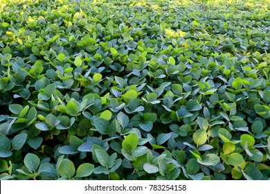 Soybean cultivation in the south of Brazil. Beautiful green soy fields growing in rows, agriculture generating money for the local economy. Rural improvement with technology.