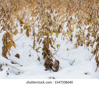 Soybean farm field with pods and plant stems covered in snow. An early winter snowstorm in central Illinois has stopped the late harvest season