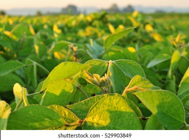 Soybean field and closeup of soybean plants. Soybean agriculture