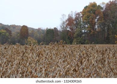 Soybean Field in the Fall