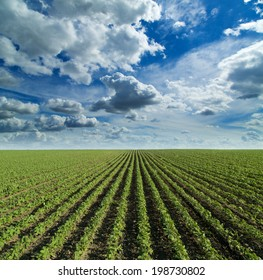 Soybean field growing over blue sky with nice clouds. Hill landscape