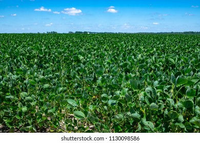 Soybean field in midwest United States with blue sky in summer