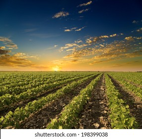 Soybean field ripening at spring season, agricultural landscape. Sunset