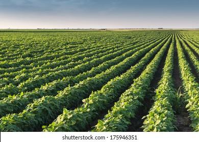 Soybean Field Rows in morning