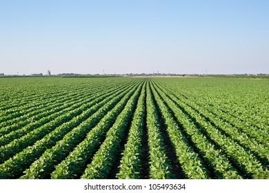 soybean field with rows of soya bean plants