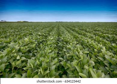 Sojabohnenfeld mit Reihen von Sojabohnenpflanzen