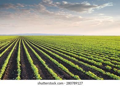 Soybean Field Rows in spring