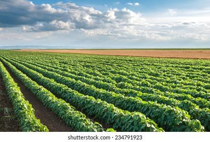 Soybean Field Rows in summer