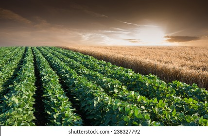 Soybean Field Rows in sunset