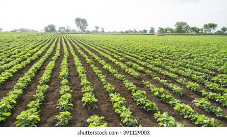 Soybean field, Salunkwadi, Ambajogai, Beed, Maharashtra India
