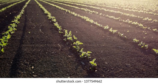Soybean field in spring with young seedlings in soil, at sunset