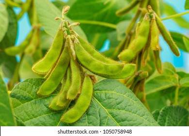Soybean green pods. Agricultural soy plantation background.
