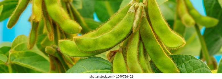 Soybean green pods on Agricultural soy plantation background.