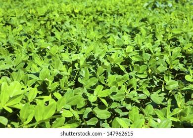 Soybean growth in the fields