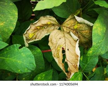 Soybean leaf Diseases, Bacterial blight.