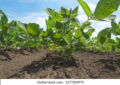 Soybean plant in cultivated agricultural field. Selective focus
