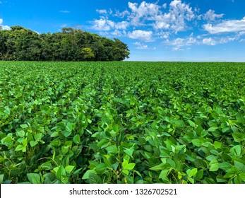 Soybean plantation in Brazil.