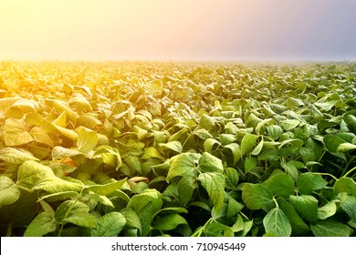 Soybean plantation in early morning. Soy agriculture