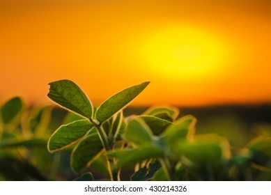 Soybean plants in sunset, selective focus