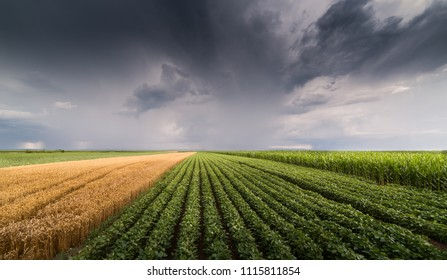 Soybean and wheat field ripening at spring season stormy day