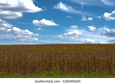 Soybeans before Indiana harvest, on a bright sunny day.
