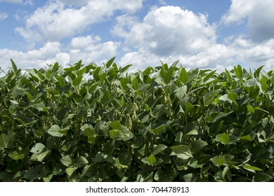 Soybeans growing in a farm field on a sunny day