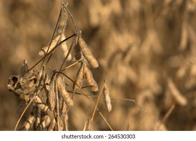 Soybeans pod macro. Harvest of soy beans - agriculture legumes plant. Soybean field - dry soyas pods.