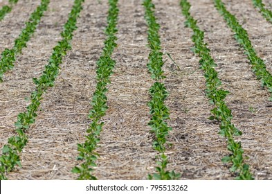 the soybeans were no-till in Argentina