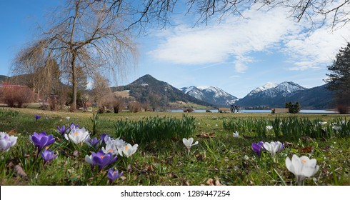 spa garden schliersee with spring crocus flowers and mountain view