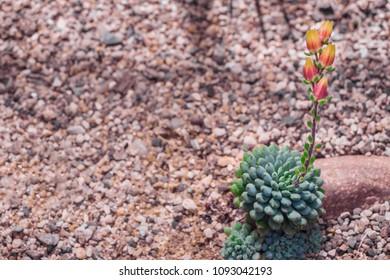 Space for your own text. Echeveria rundellii is part of Echeveria genus. Echeveria minima, Crassulaceae. Orange succulent flower of Echeveria derenbergii, also called painted lady, endemic to Mexico.