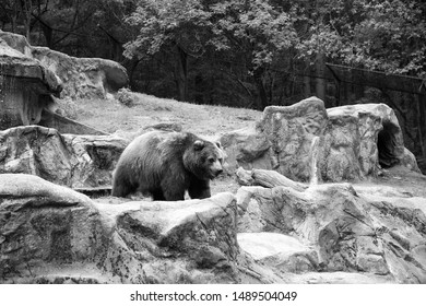 Spaces not cages. Large brown bear animal on natural landscape. Wild bear animal. Bear or ursus arctos predatory animal. Wild animal of the bear family.